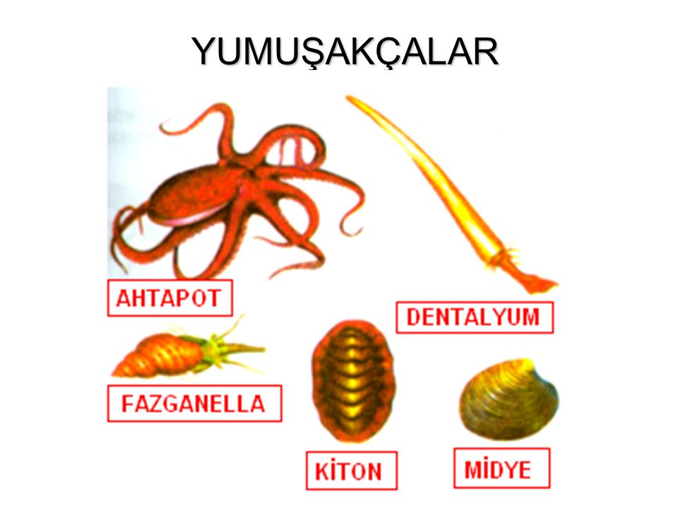 SÜNGERLERİN GENEL ÖZELLİKLERİ Sünger bir hayvan türüdür. Ama ayrımı öylesine güç bir yaratıktır ki XIX. yüzyıl başlarına değin bitkimsi hayvan ya da h