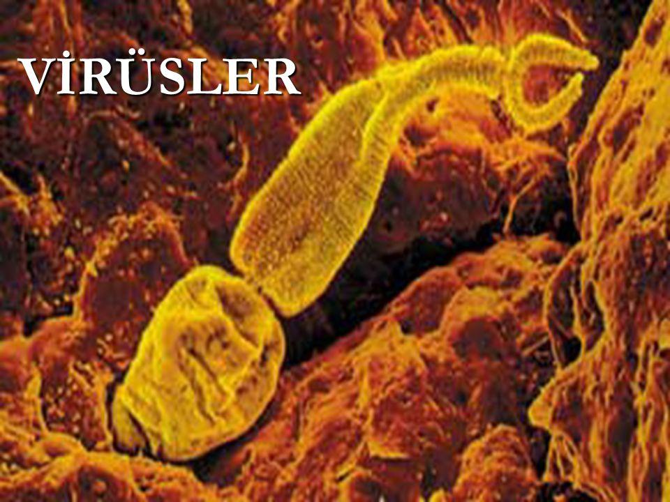 Cansız kimyasal yapıyım Sanma ki ben canlıyım Hücrede olurum canlı Küçük basit yapılıyım Önce tutarım hücreyi Aktarırım bir maddeyi Kılıfım dışarıda kalır Çoğaltırım kendini Parçalarım girdiğim hücreyi Devam ederim yoluma Yayılırım tüm vücuduna Hasta ederim bedenini.
