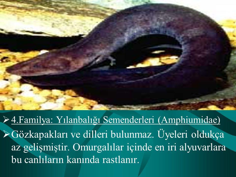  4.Familya: Yılanbalığı Semenderleri (Amphiumidae)  Gözkapakları ve dilleri bulunmaz. Üyeleri oldukça az gelişmiştir. Omurgalılar içinde en iri alyu