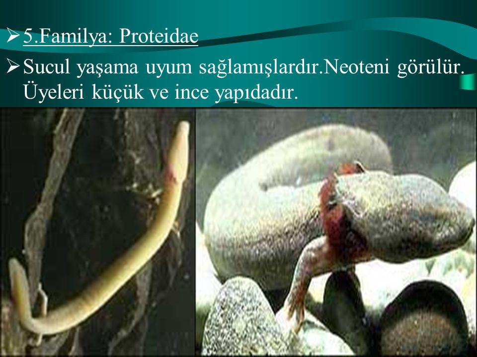  5.Familya: Proteidae  Sucul yaşama uyum sağlamışlardır.Neoteni görülür. Üyeleri küçük ve ince yapıdadır.