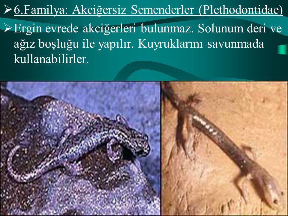  6.Familya: Akciğersiz Semenderler (Plethodontidae)  Ergin evrede akciğerleri bulunmaz. Solunum deri ve ağız boşluğu ile yapılır. Kuyruklarını savun