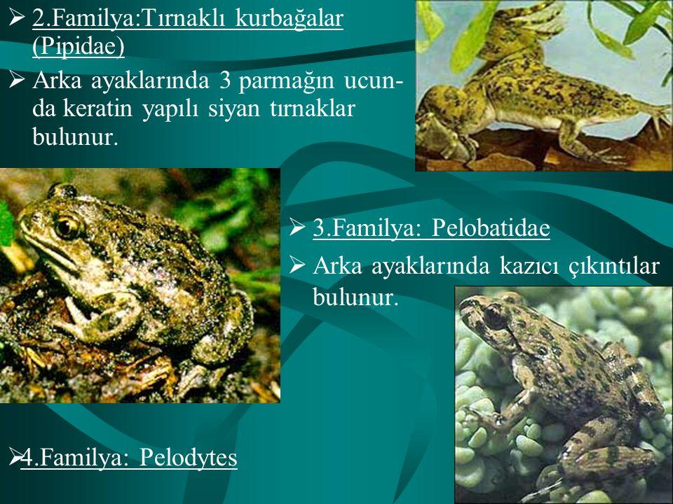  2.Familya:Tırnaklı kurbağalar (Pipidae)  Arka ayaklarında 3 parmağın ucun- da keratin yapılı siyan tırnaklar bulunur.  3.Familya: Pelobatidae  Ar