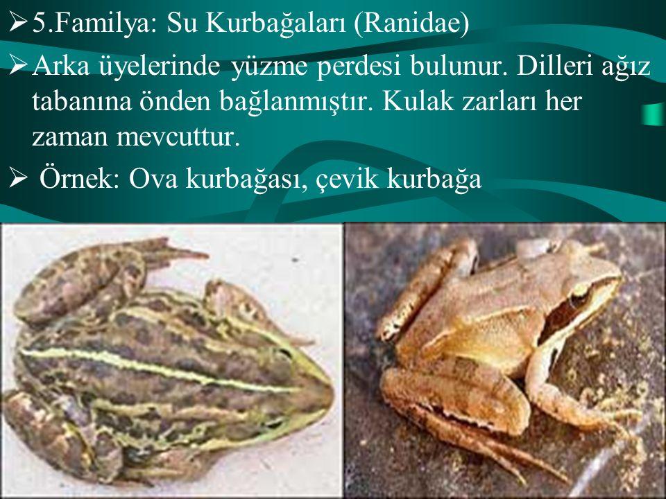  5.Familya: Su Kurbağaları (Ranidae)  Arka üyelerinde yüzme perdesi bulunur. Dilleri ağız tabanına önden bağlanmıştır. Kulak zarları her zaman mevcu