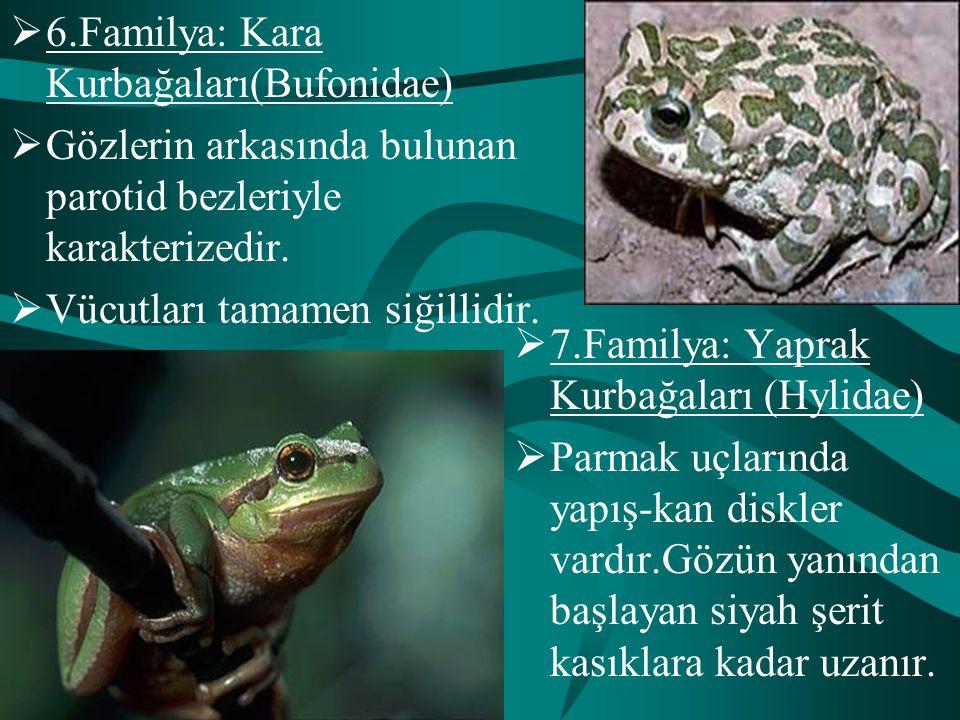  6.Familya: Kara Kurbağaları(Bufonidae)  Gözlerin arkasında bulunan parotid bezleriyle karakterizedir.  Vücutları tamamen siğillidir.  7.Familya: