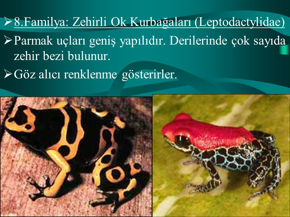  8.Familya: Zehirli Ok Kurbağaları (Leptodactylidae)  Parmak uçları geniş yapılıdır. Derilerinde çok sayıda zehir bezi bulunur.  Göz alıcı renklenm