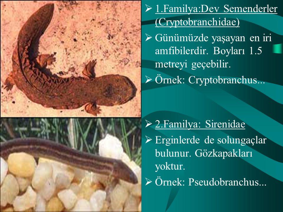  2.Familya: Sirenidae  Erginlerde de solungaçlar bulunur. Gözkapakları yoktur.  Örnek: Pseudobranchus...  1.Familya:Dev Semenderler (Cryptobranchi