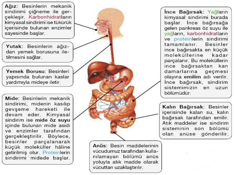  2-TÜKÜRÜK BEZLERİ: İçinde, pityalin enzimiyle, su, bazı iyonlar ve glikoproteinlerden oluşmuş mukus bulunur.