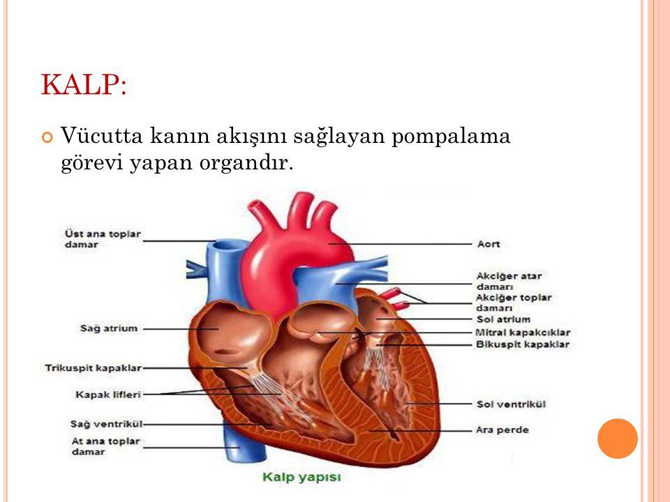 KALP: Vücutta kanın akışını sağlayan pompalama görevi yapan organdır.