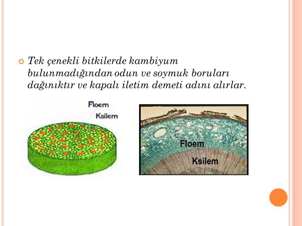 Çift çenekli bitkilerde ise odun ve soymuk borularının arasında kambiyum bulunur ve bu nedenle açık iletim demetleri denir.