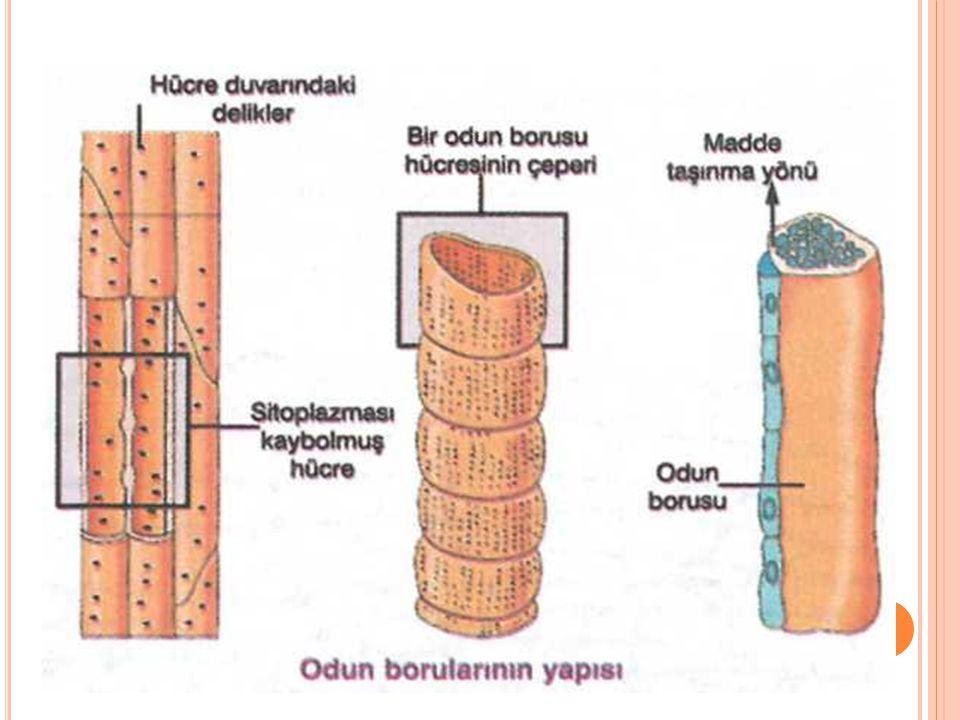 Soymuk(floem) boruları