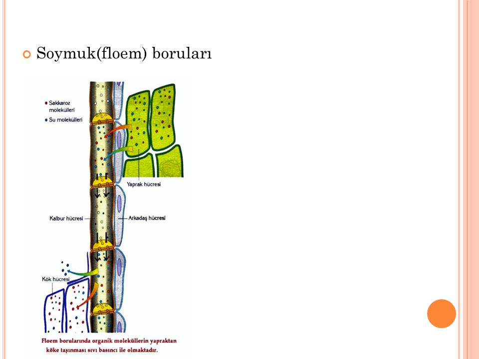B ITKILERDE SUYUN TAŞıNMASı : Suyun taşınmasında görev alan yapılar odun boruları(ksilem)dır.Köklerden alınan suyun, bitkinin tüm kısımlarına dağıtılması gerekir.Bitkilerde kalp gibi bir pompalama sistemi bulunmaz.Suyun taşınmasında görev alan üç önemli faktör vardır:  Kılcallık özelliği  Kök basıncı  Terleme-Kohezyon kuvveti