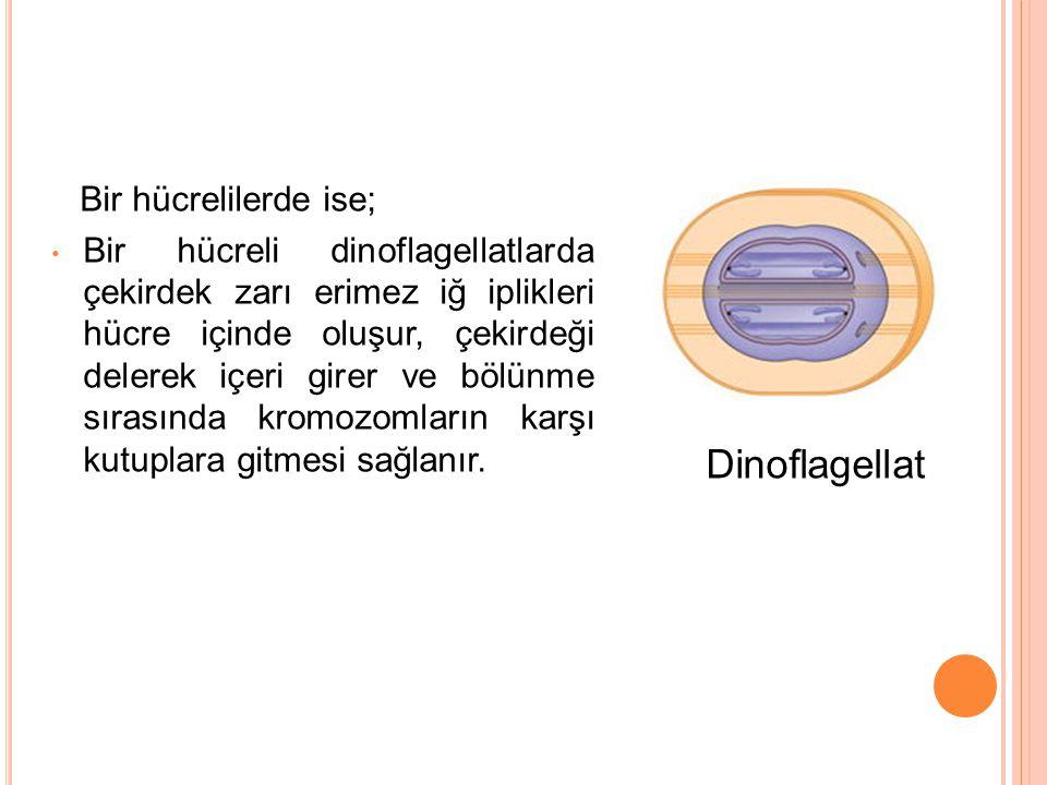 Bir hücrelilerde ise; Bir hücreli dinoflagellatlarda çekirdek zarı erimez iğ iplikleri hücre içinde oluşur, çekirdeği delerek içeri girer ve bölünme s