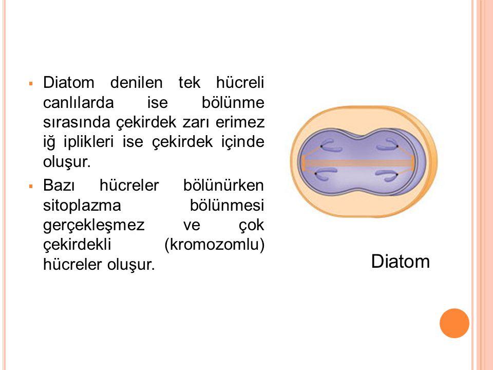  Diatom denilen tek hücreli canlılarda ise bölünme sırasında çekirdek zarı erimez iğ iplikleri ise çekirdek içinde oluşur.  Bazı hücreler bölünürken