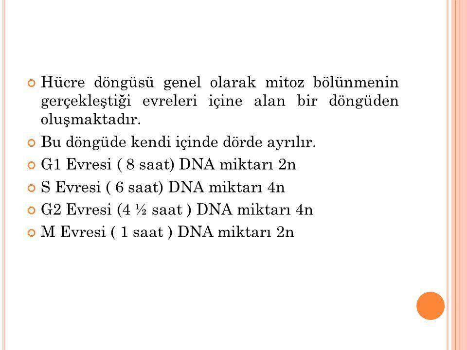 Hücre döngüsü genel olarak mitoz bölünmenin gerçekleştiği evreleri içine alan bir döngüden oluşmaktadır. Bu döngüde kendi içinde dörde ayrılır. G1 Evr