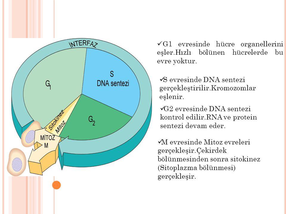 G1 evresinde hücre organellerini eşler.Hızlı bölünen hücrelerde bu evre yoktur. S evresinde DNA sentezi gerçekleştirilir.Kromozomlar eşlenir. G2 evres