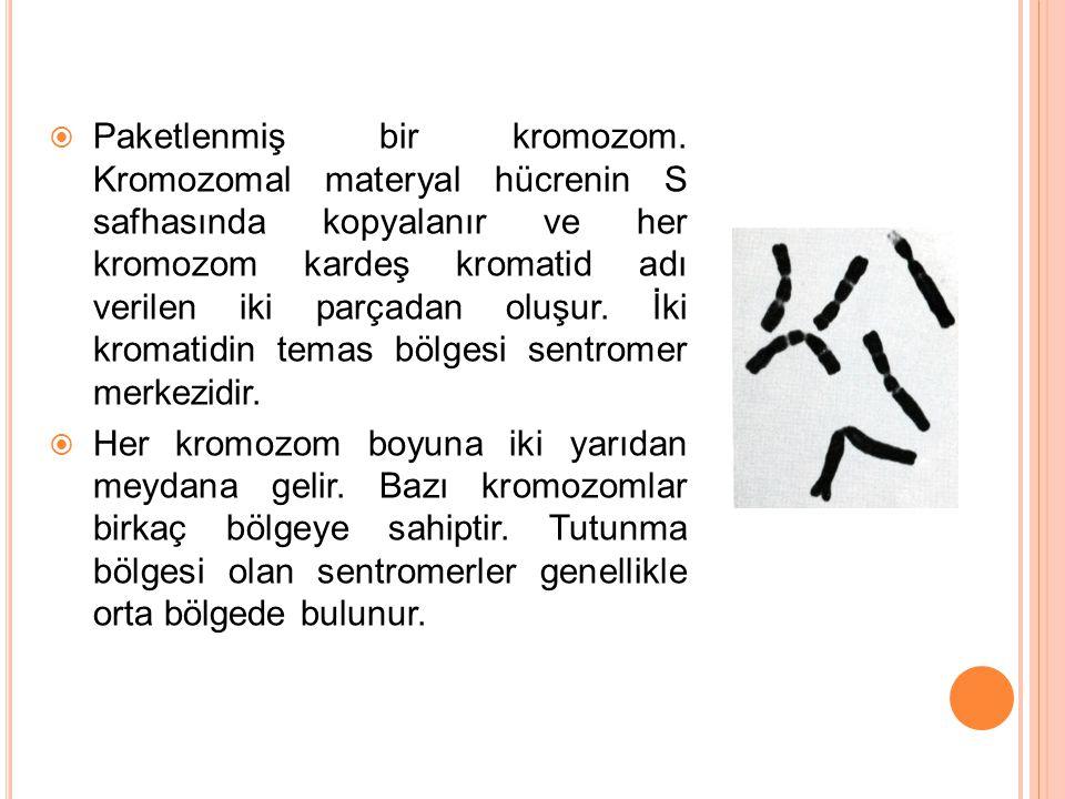  Paketlenmiş bir kromozom. Kromozomal materyal hücrenin S safhasında kopyalanır ve her kromozom kardeş kromatid adı verilen iki parçadan oluşur. İki