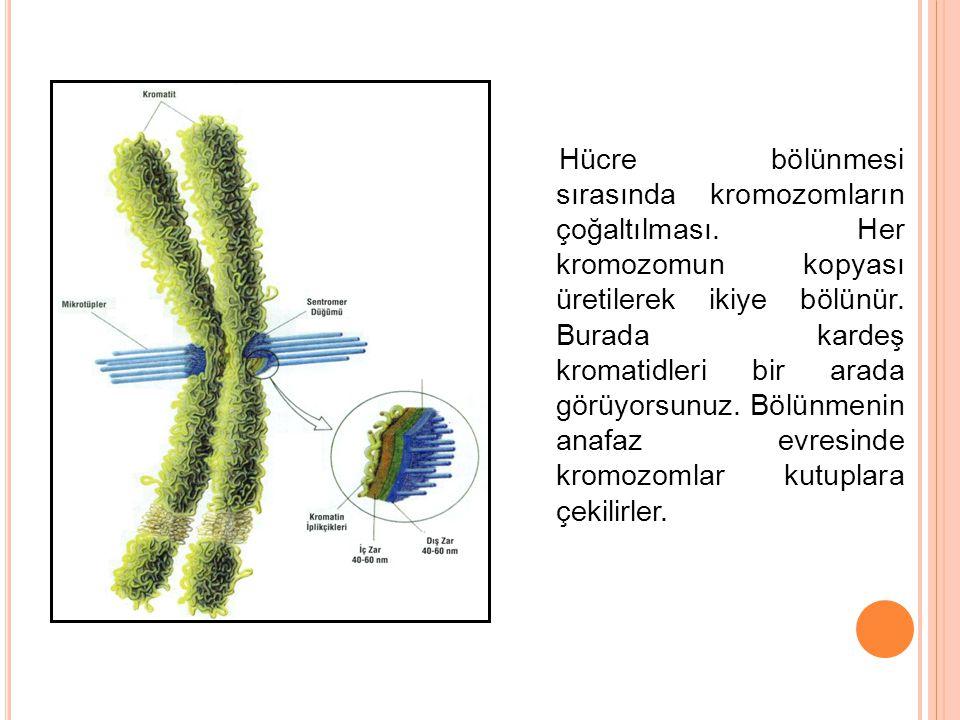Hücre bölünmesi sırasında kromozomların çoğaltılması. Her kromozomun kopyası üretilerek ikiye bölünür. Burada kardeş kromatidleri bir arada görüyorsun