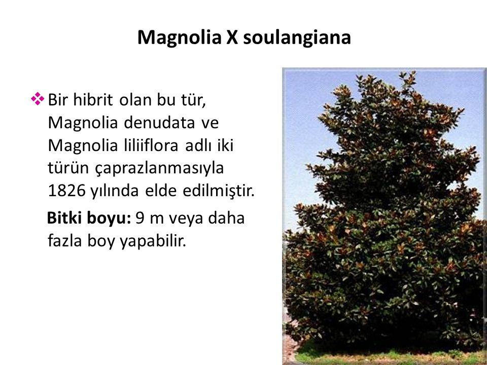  Bir hibrit olan bu tür, Magnolia denudata ve Magnolia liliiflora adlı iki türün çaprazlanmasıyla 1826 yılında elde edilmiştir.