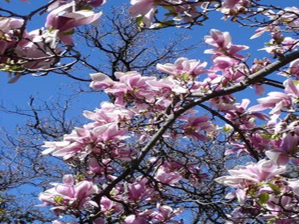 Çiçek: Geniş, lale biçimindeki çiçekler beyaz ve gül moru beneklerle süslüdür.