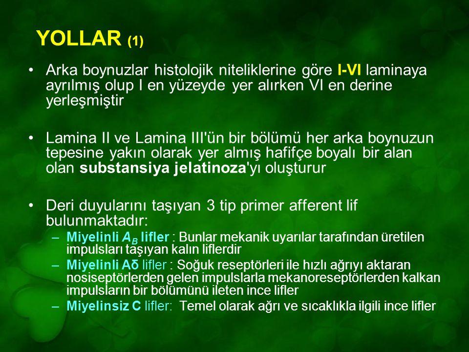 YOLLAR (1) Arka boynuzlar histolojik niteliklerine göre I-VI laminaya ayrılmış olup I en yüzeyde yer alırken VI en derine yerleşmiştir Lamina II ve Lamina III ün bir bölümü her arka boynuzun tepesine yakın olarak yer almış hafifçe boyalı bir alan olan substansiya jelatinoza yı oluşturur Deri duyularını taşıyan 3 tip primer afferent lif bulunmaktadır: –Miyelinli A B lifler : Bunlar mekanik uyarılar tarafından üretilen impulsları taşıyan kalın liflerdir –Miyelinli Aδ lifler : Soğuk reseptörleri ile hızlı ağrıyı aktaran nosiseptörlerden gelen impulslarla mekanoreseptörlerden kalkan impulsların bir bölümünü ileten ince lifler –Miyelinsiz C lifler: Temel olarak ağrı ve sıcaklıkla ilgili ince lifler
