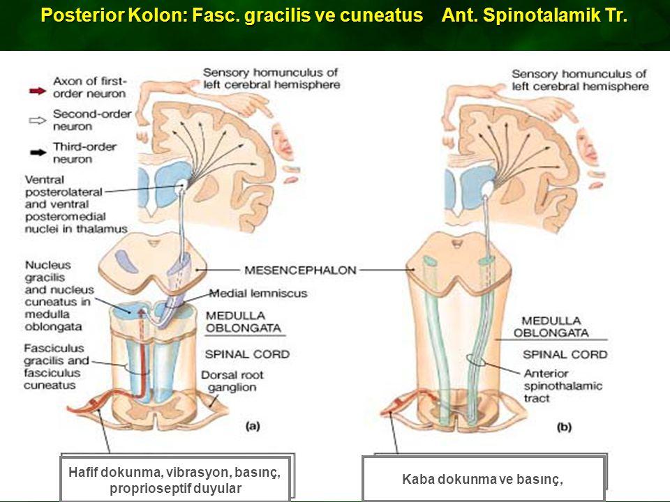 Posterior Kolon:Fasc.gracilis ve cuneatus Ant. Spinotalamik Tr.
