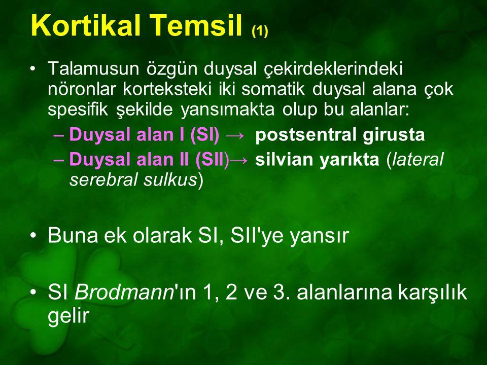 Kortikal Temsil (1) Talamusun özgün duysal çekirdeklerindeki nöronlar korteksteki iki somatik duysal alana çok spesifik şekilde yansımakta olup bu alanlar: –Duysal alan I (SI) → postsentral girusta –Duysal alan II (SII)→ silvian yarıkta (lateral serebral sulkus) Buna ek olarak SI, SII ye yansır SI Brodmann ın 1, 2 ve 3.