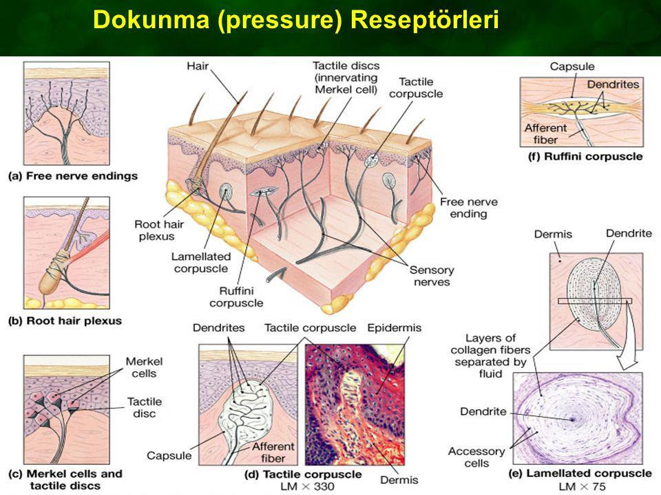 Figure 15.3a-f Dokunma (pressure) Reseptörleri