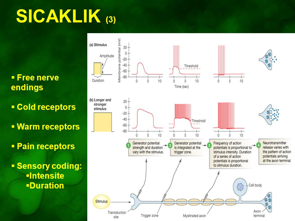 SICAKLIK (3) Figure 10-7: Sensory coding for stimulus intensity and duration  Free nerve endings  Cold receptors  Warm receptors  Pain receptors  Sensory coding:  Intensite  Duration