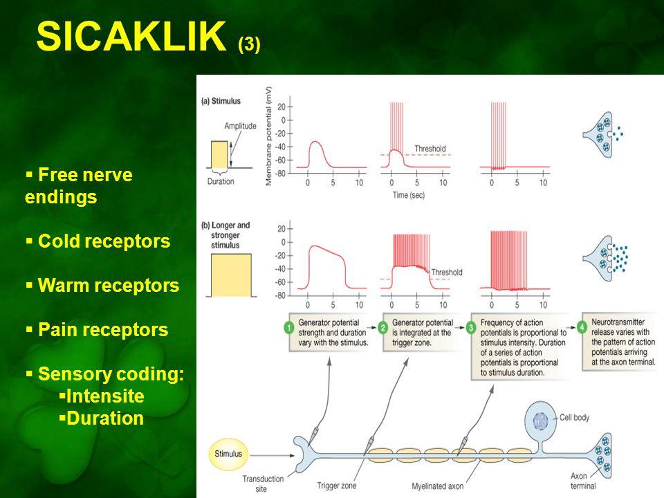 SICAKLIK (3) Figure 10-7: Sensory coding for stimulus intensity and duration  Free nerve endings  Cold receptors  Warm receptors  Pain receptors 