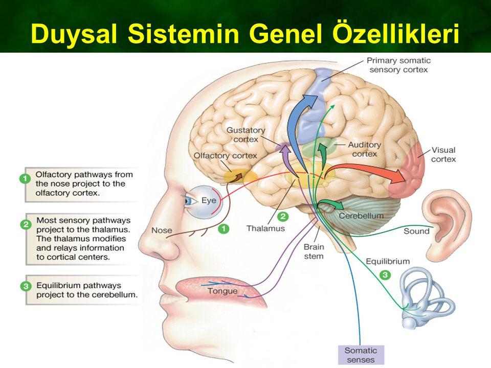 Duysal Sistemin Genel Özellikleri Figure 10-4: Sensory pathways