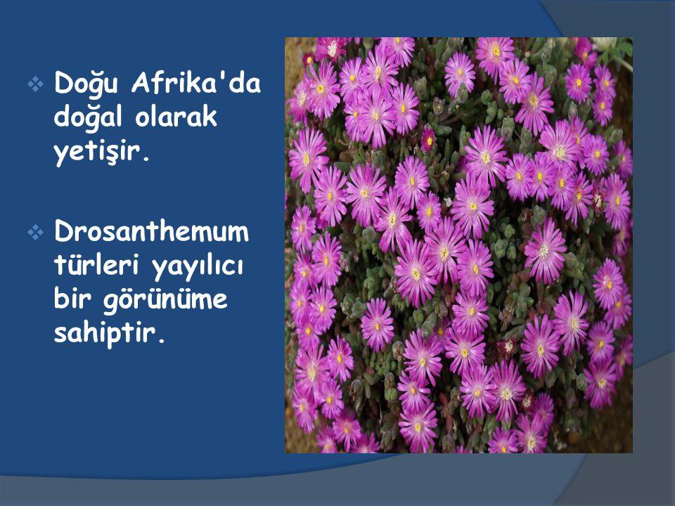  Doğu Afrika da doğal olarak yetişir.  Drosanthemum türleri yayılıcı bir görünüme sahiptir.