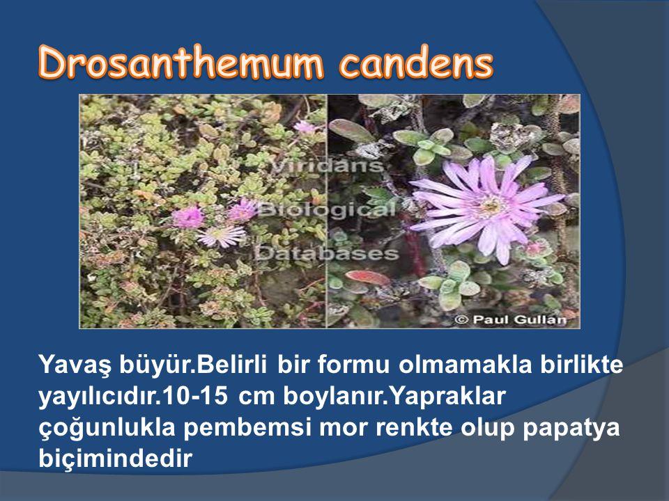 Yavaş büyür.Belirli bir formu olmamakla birlikte yayılıcıdır.10-15 cm boylanır.Yapraklar çoğunlukla pembemsi mor renkte olup papatya biçimindedir