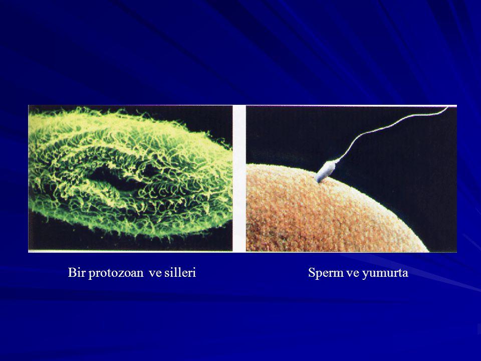 Bir protozoan ve silleri Sperm ve yumurta