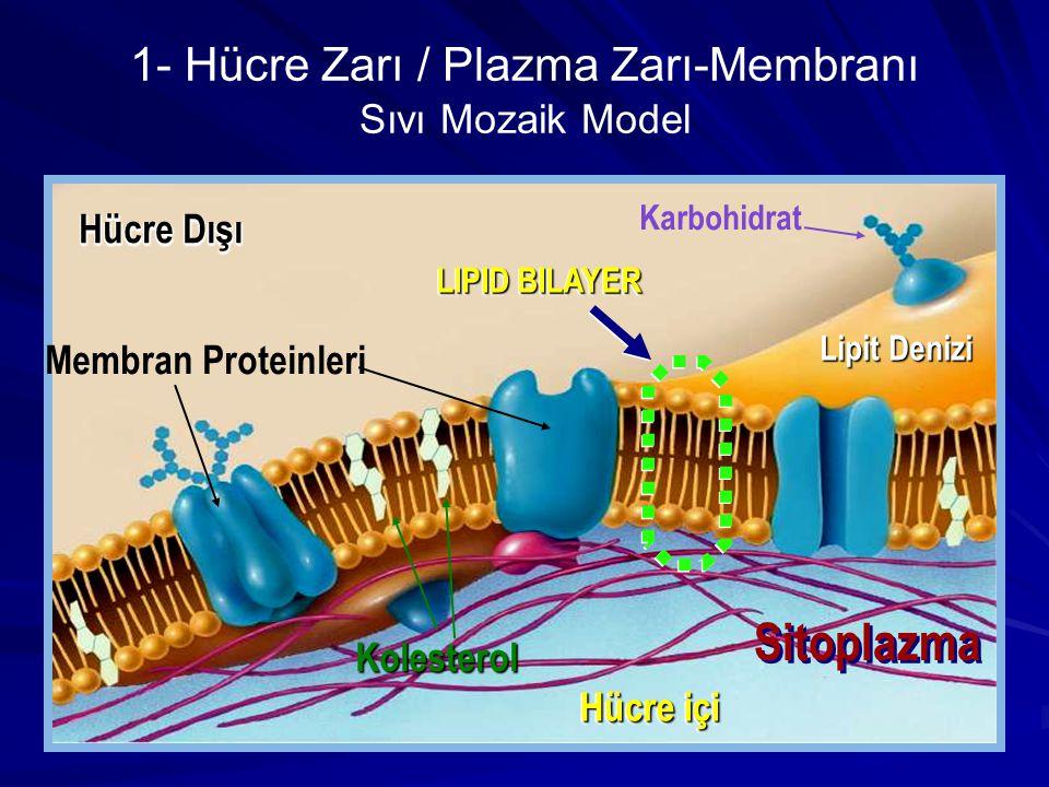1- Hücre Zarı / Plazma Zarı-Membranı Sıvı Mozaik Model Lipit Denizi Hücre Dışı Hücre içi LIPID BILAYER Membran Proteinleri Kolesterol Karbohidrat Sito