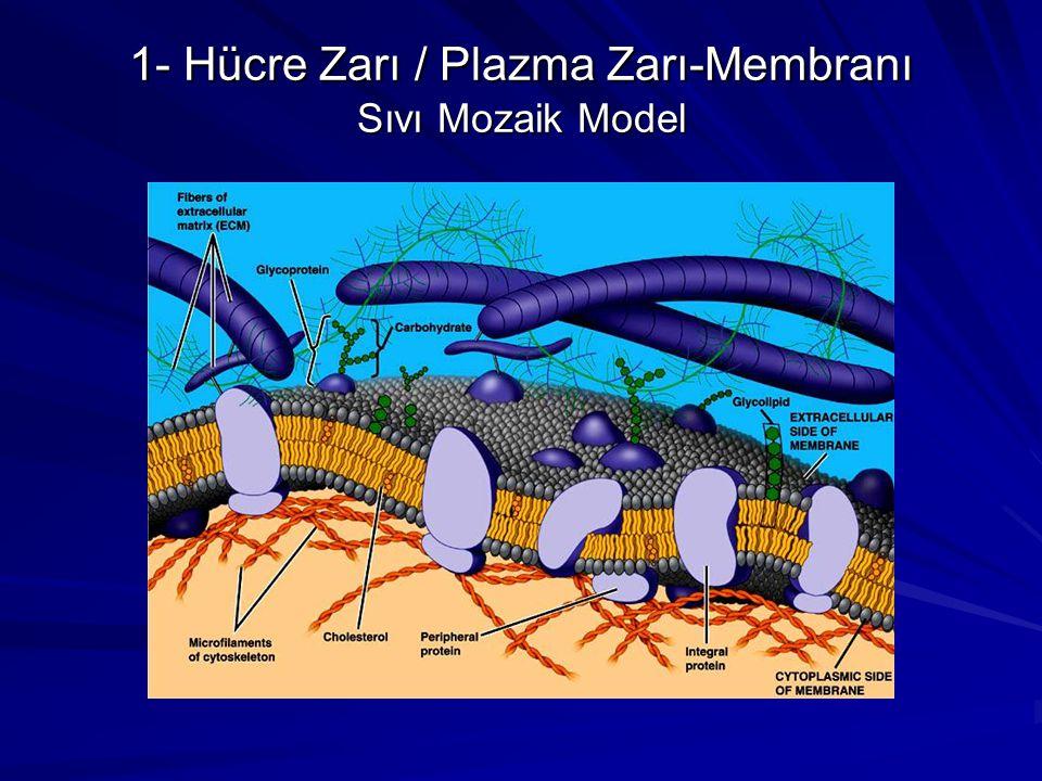 1- Hücre Zarı / Plazma Zarı-Membranı Sıvı Mozaik Model