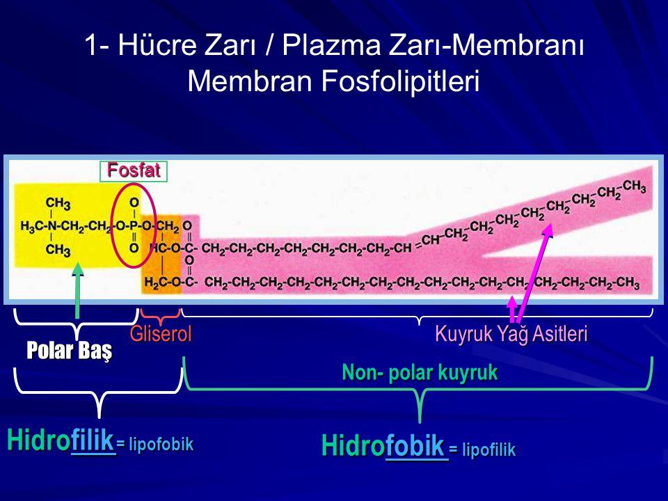 1- Hücre Zarı / Plazma Zarı-Membranı Membran Fosfolipitleri Polar Baş Gliserol Kuyruk Yağ Asitleri Hidrofobik = lipofilik Hidrofilik = lipofobik Non-