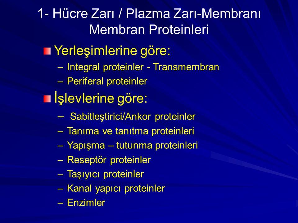 Yerleşimlerine göre: –Integral proteinler - Transmembran –Periferal proteinler İşlevlerine göre: – Sabitleştirici/Ankor proteinler –Tanıma ve tanıtma