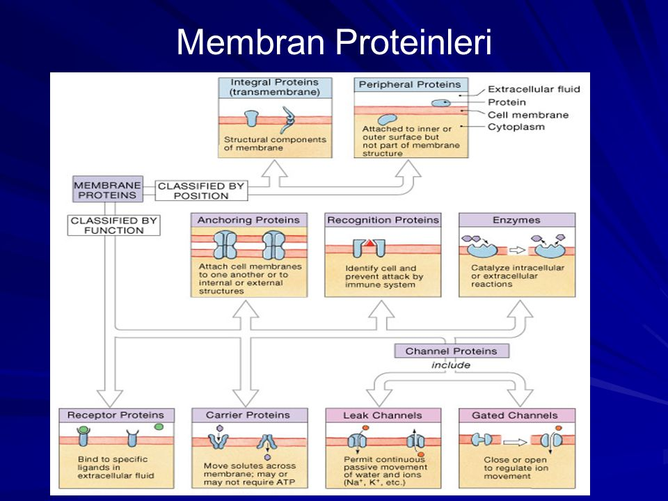 Membran Proteinleri
