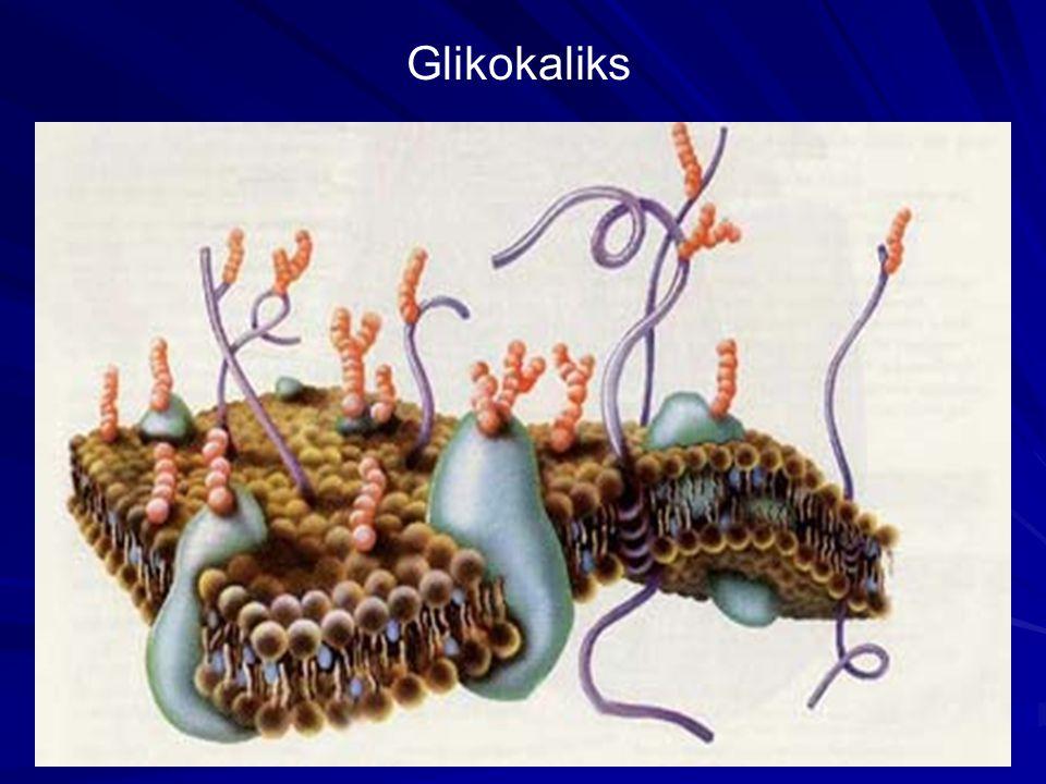 Glikokaliks