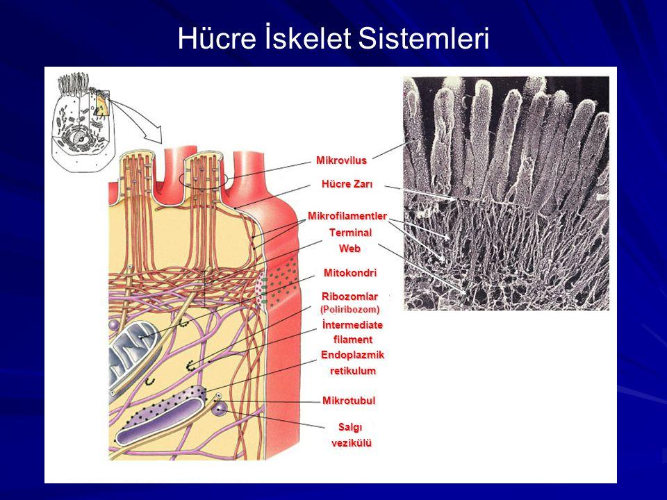 Hücre İskelet Sistemleri Mikrovilus Hücre Zarı Mikrofilamentler TerminalWeb Mitokondri Ribozomlar(Poliribozom) İntermediatefilament Endoplazmikretikul