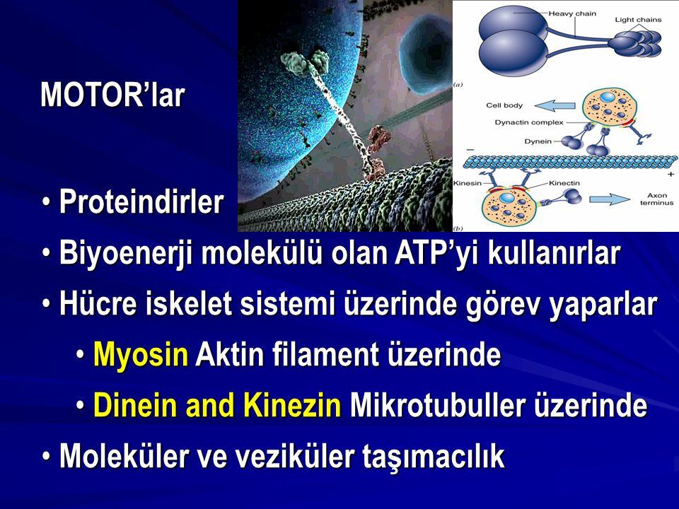 MOTOR'lar Proteindirler Proteindirler Biyoenerji molekülü olan ATP'yi kullanırlar Biyoenerji molekülü olan ATP'yi kullanırlar Hücre iskelet sistemi üz