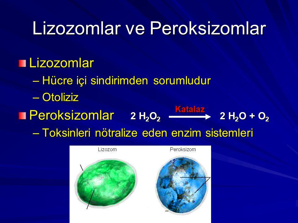Lizozomlar –Hücre içi sindirimden sorumludur –Otoliziz Peroksizomlar –Toksinleri nötralize eden enzim sistemleri Lizozomlar ve Peroksizomlar 2 H 2 O 2