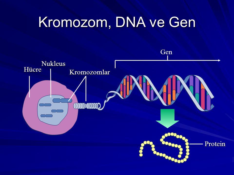 Kromozom, DNA ve Gen Hücre Nukleus Kromozomlar Gen Protein