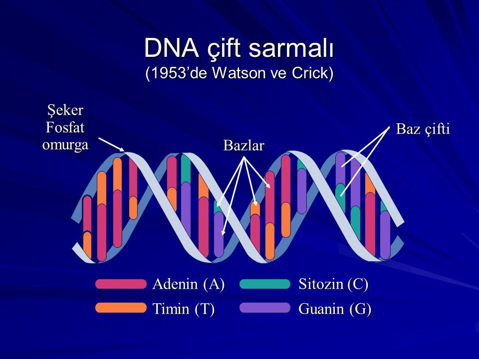 DNA çift sarmalı (1953'de Watson ve Crick) Adenin (A) Timin (T) Sitozin (C) Guanin (G) Bazlar Şeker Fosfat omurga Baz çifti