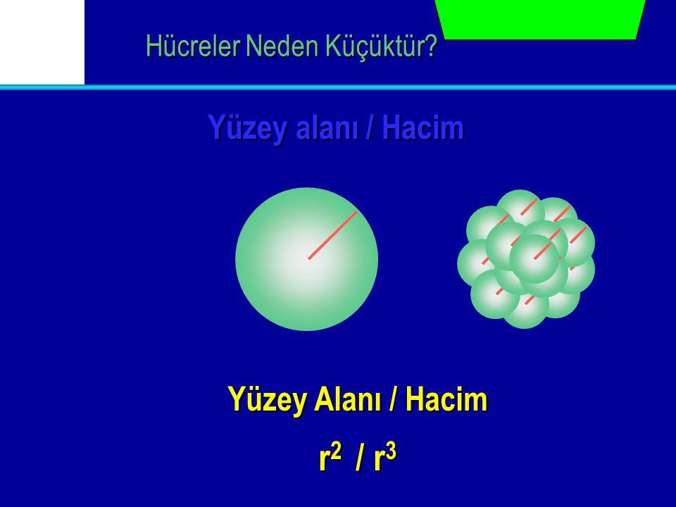 Yüzey alanı / Hacim Hücreler Neden Küçüktür? Yüzey Alanı / Hacim r 2 / r 3