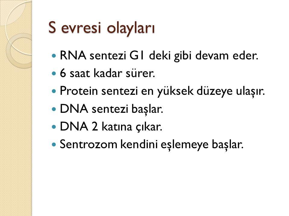 S evresi olayları RNA sentezi G1 deki gibi devam eder. 6 saat kadar sürer. Protein sentezi en yüksek düzeye ulaşır. DNA sentezi başlar. DNA 2 katına ç