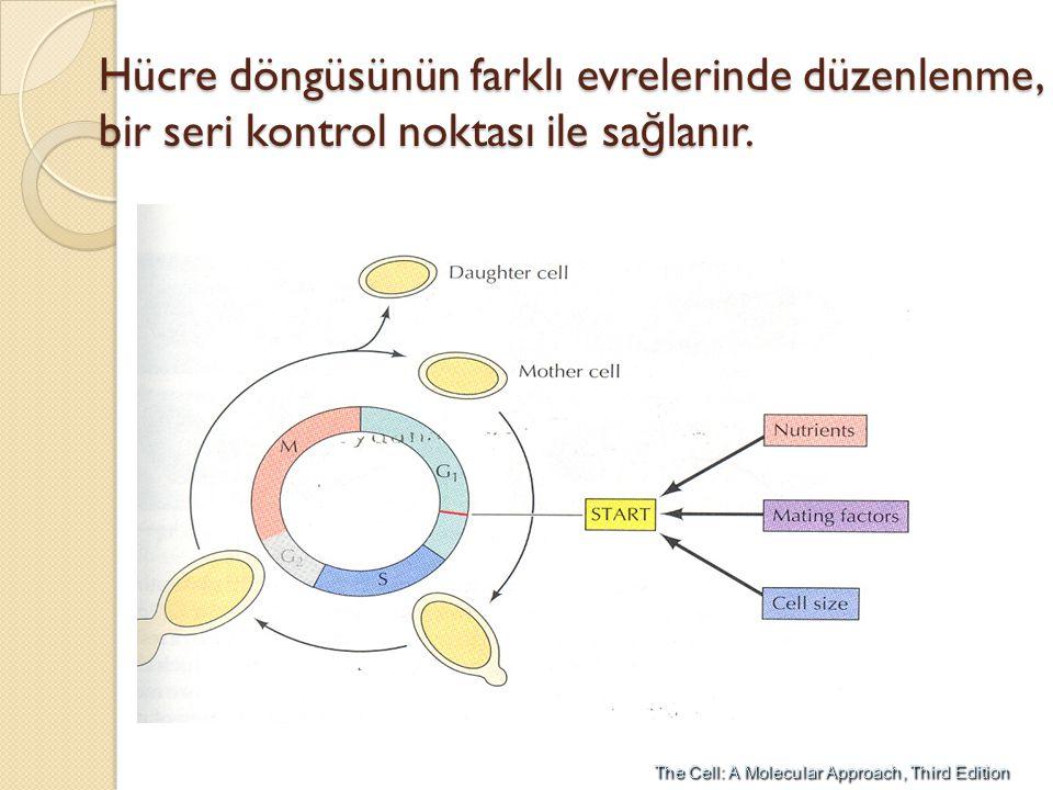 Hücre döngüsünün farklı evrelerinde düzenlenme, bir seri kontrol noktası ile sa ğ lanır.