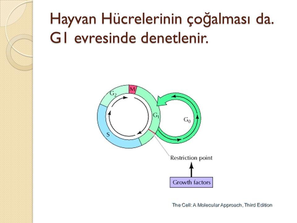 Hayvan Hücrelerinin ço ğ alması da. G1 evresinde denetlenir.
