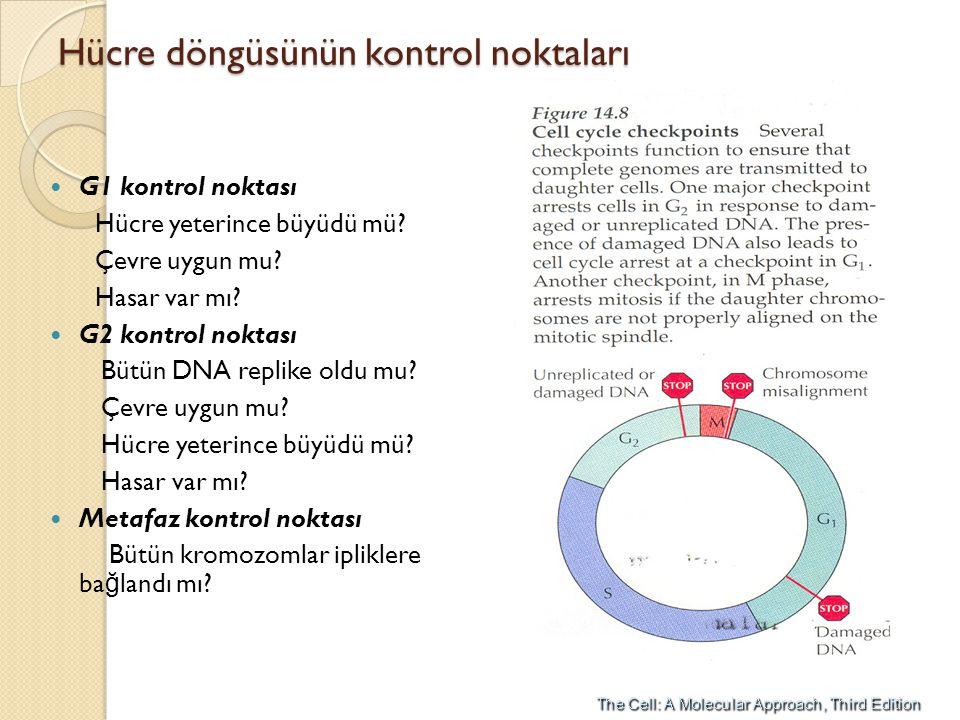 Hücre döngüsünün kontrol noktaları G1 kontrol noktası Hücre yeterince büyüdü mü? Çevre uygun mu? Hasar var mı? G2 kontrol noktası Bütün DNA replike ol