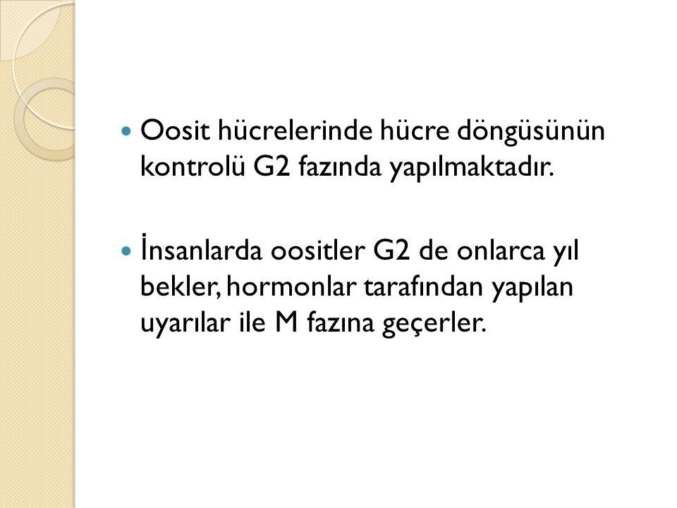 Oosit hücrelerinde hücre döngüsünün kontrolü G2 fazında yapılmaktadır. İ nsanlarda oositler G2 de onlarca yıl bekler, hormonlar tarafından yapılan uya